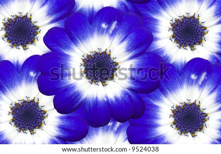 A bunch of Cineraria flowers - stock photo