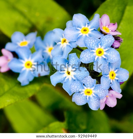 A bunch of forget me nots... - stock photo