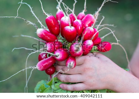 A bunch of fresh organic radish grown in the home garden  - stock photo