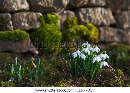 A bunch of fresh snowdrops in front of a background of a mossy dry stone wall. Photo has short depth of field. - stock photo