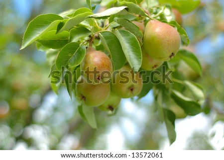 a bunch of fresh tasty pears hanging on a tree in a garden. - stock photo