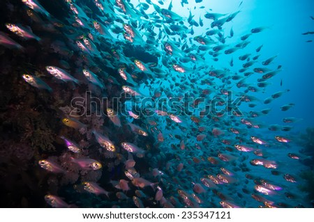 a bunch of glass-fish, met in the clear waters of Sharm el Sheikh Red Sea