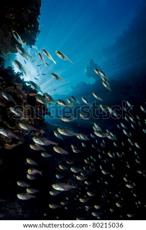 a bunch of glass-fish, met in the clear waters of Sharm el Sheikh Red Sea - stock photo