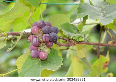 A Bunch Of Grape On the Vine - stock photo