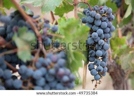 A bunch of grapes hanging from a vine near Mendoza Argentina. - stock photo