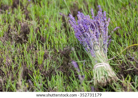 A bunch of lavender - stock photo