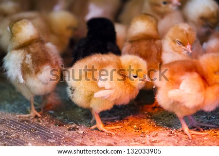 A bunch of little chicks on a farm. They're crowded around heat lamp.