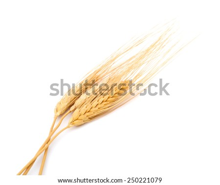 A bunch of natural dry wheat - stock photo