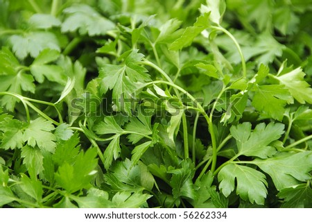a bunch of parsley ready to sell - stock photo