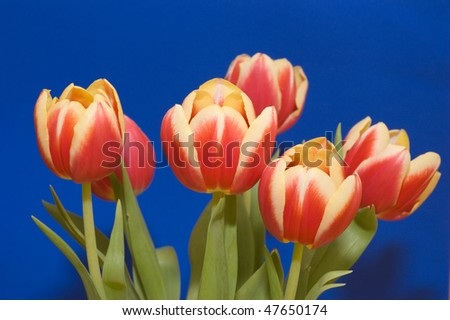 A bunch of red and yellow tulips on a blue background - stock photo