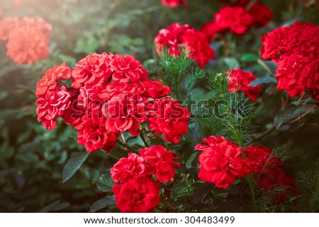 A bunch of red garden roses in sunset - stock photo