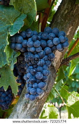 a bunch of red grapes - stock photo