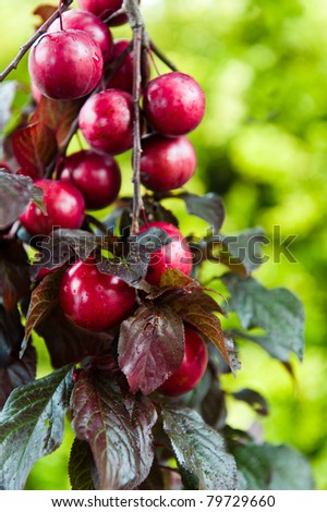 A bunch of red plums hanging from a branch