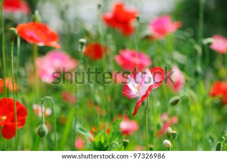 A bunch of red poppies on a field - stock photo