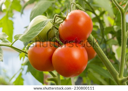 A bunch of red round tomatoes on branches in a garden  - stock photo