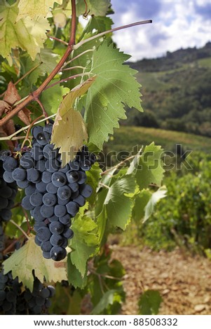 A bunch of ripe Sangiovese grapes on the vine in the Chianti region, Tuscany, Italy - stock photo