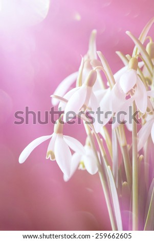 a bunch of snowdrops  - stock photo