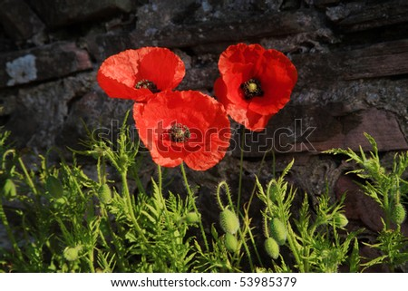 A bunch of three wild poppies growing against a stone wall by the roadside. - stock photo