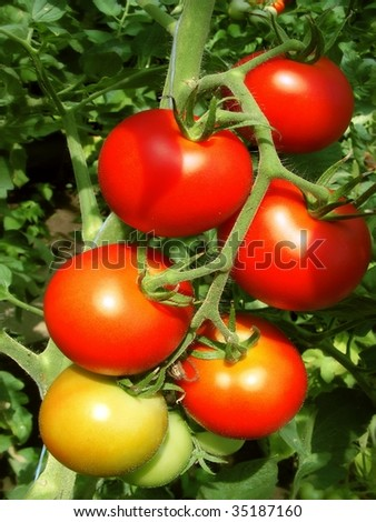 a bunch of tomatoes close-up - stock photo