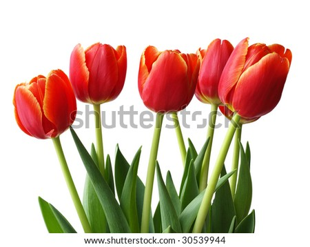 a bunch of tulips in the springtime - stock photo
