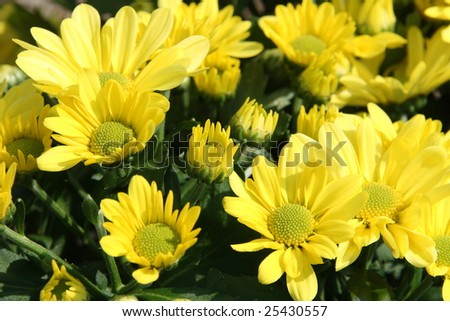 A bunch of yellow flowers for background