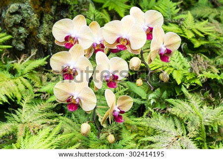 A bunch of yellow orchids surrounded by vibrant ferns in a lush Hawaiian botanical garden - stock photo