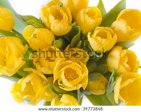 A bunch of yellow tulips on white background