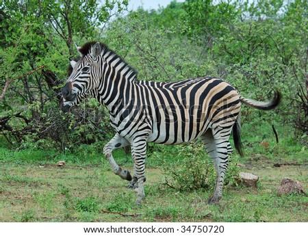 A Burchells Zebra (Equus quagga burchelli) - stock photo