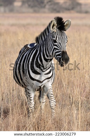 A Burchells Zebra (Equus quagga burchelli) in South Africa.