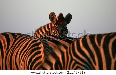 A burchells zebra stands posing beautifully in this landscape image from the African Plains. - stock photo