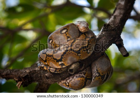 A Burmese python (Python molurus bivittatus) coils itself in the branches of a mangrove tree in the Mergui Archipelago, Myanmar.  It is one of the six largest snakes in the world. - stock photo