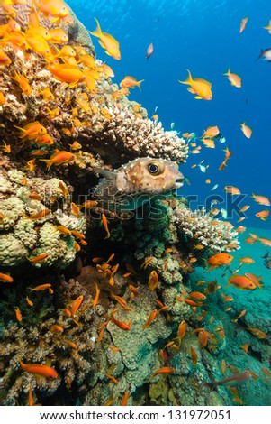 A Burrfish hides next to hard coral - stock photo