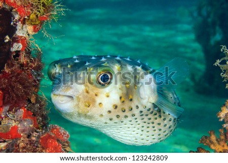 A Burrfish swims next to a coral encrusted pier leg on a tropical coral reef - stock photo