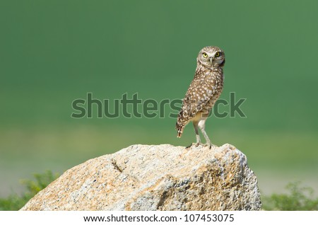 A burrowing owl, a California species of special concern, in agricultural land in Riverside County, CA. - stock photo