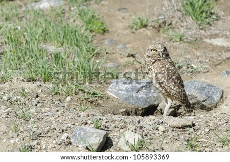 A burrowing owl just outside its burrow.  This is a California species of special concern. - stock photo