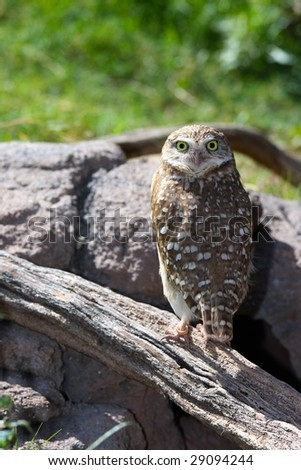 A Burrowing owl perched on a log