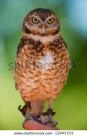 A burrowing owl portrait with focus on the face(shallow depth of field) - stock photo