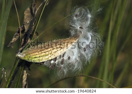 A bursting Milkweed pod with white fluffy seeds.