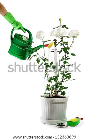 A bush hybrid tea rose is watered. - stock photo