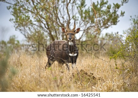 A Bushbuck Male is known to be aggressive - stock photo
