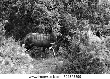 A bushbuck ram in south africa - stock photo