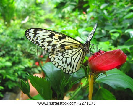 A Butterfly resting/feeding on a red flower.