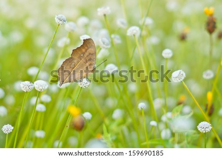 a butterfly sitting on a wild flower (Manee Dhevaa Eriocaulon sp.) - stock photo