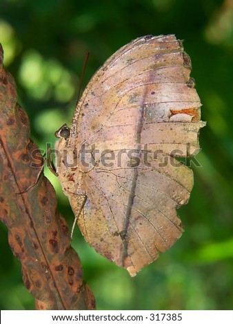 a butterfly that mimic as a dry leaf - stock photo