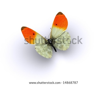 A butterfly with orange wing tips - stock photo