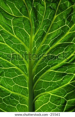 A cabbage leaf lit by the sun. - stock photo