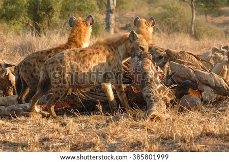 A cackle of hyenas scavenge the carcass of a giraffe killed by a pride of lions the night before, Kruger National Park, South Africa - stock photo