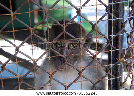 A caged Macaque in Thailand