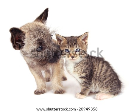 A Cairn Terrier puppy sniffing a kitten. - stock photo