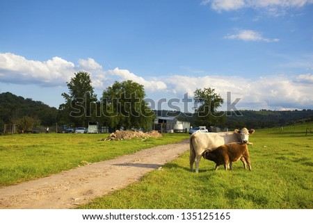 A calf drinking milk from mother on open plain against blue sky - stock photo